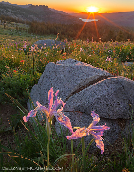 Wild Iris at Sunset