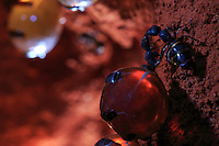 """A honey ant during a buccal exchange through trophallaxis with a virgin queen from the colony. The honey ants are omnivorous ants. The storing of honeydew is indispensable for the colony's survival and its consumption represents 40% of the colony's nourishment. The honeypot ants, """"repletes"""", are attentively cared for by the worker ants who clean and inspect them.///Une fourmi pot de miel lors d'un échange buccal par trophallaxie avec une reine vierge de la colonie. Les fourmis à miel font partie des fourmis omnivores. Le stockage du miellat est indispensable à la survie de la colonie et sa consommation représente 40% de l'alimentation de la colonie. Les fourmis réservoirs sont l'objet de toutes les attentions de la part des ouvrières qui les nettoient et inspectent."""