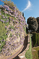 Purple wisteria has been trained around the curved wall of one of the garden terraces at La Foce