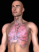 Biomedical illustration of the human lungs, diaphragm and heart
