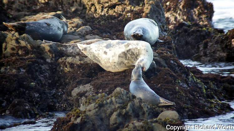Adult habor seal instructs a juvenile to stay back.  A still capture from one of the videos taken at Bean Hollow State Beach.  A sample of the video can be seen at:  http://flic.kr/p/9hjArw.  For usage/licensing, please contact us at info@worthphoto.com.
