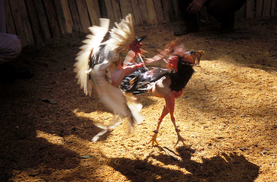 Two fighting cocks clash in a blur of spurs and feathers.
