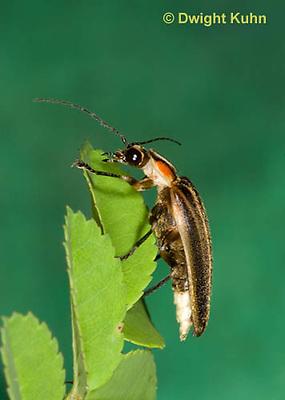 1C24-516z  Firefly Adult - Lightning Bug - Photuris spp.