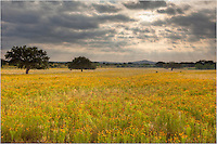 I was heading further north, but when I saw this field of golden wildflowers near Llano, Texas, I had to stop and photograph the scene as the sun began to break through the clouds. One of the nice things about the Hill Country of Texas is that when searching for wildflowers in the spring, you never know what you'll find.