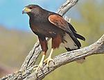 Harris Hawks in the Sonoran Desert