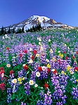 Wildflowers flourish in the meadows of Mazama Ridge in Mount Rainier National Park, Washington