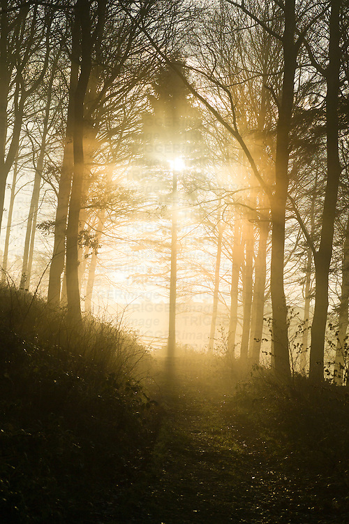 Backlit forest scene on a misty morning