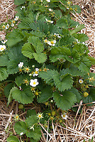 Strawberry 'Pegasus' in straw mulch