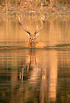 Barasingha, Ranthambhore National Park, India