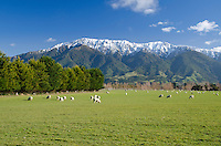 Sheep graze in green paddock, snow covered Kaikoura ranges behind, South Island,  New Zealand