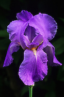 Close-up of graceful Iris pallida in Spring