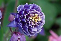 Double flowered columbine Aquilegia Winky Blue & White