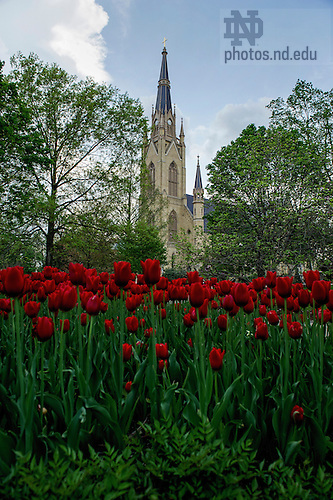 May 12, 2014; Basilica of Sacred Heart in the spring. Photo by Barbara Johnston/University of Notre Dame