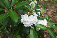 Mountain Laurel bushes bloom in the summertime in Albemarle County and Charlottesville, Virginia. .