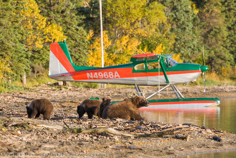 Brown bear sow and cubs along the shore of Naknek lake, float plane, Katmai National Park, Alaska.