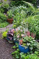 Container gardens pots, Festuca blue grass, blue pots, Alyssum Lobularia, purple Heuchera Berry Timeless in bloom, purple Heuchera Grape Expectations foliage, yellow Sedum, Coleus, Begonia in flower, herb basil in pot, ferns, path