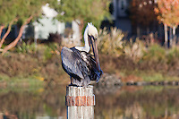 On a piling in San Francisco's Mission Creek, a Brown pelican is seen applying its prodigious bill to its feathers.