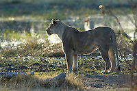 A lioness (panthera leo) on her slow walk to the river for a morning drink.<br /> The Khwai side of Moremi in the Okavango Delta, Botswana.<br /> September 2007.