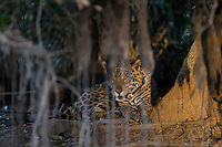 Wild Jaguar (Panthera onca), Pantanal, Brazil