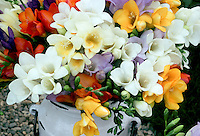 Mixed freesias from bulbs in variety of colors, gold yellow, red, orange, pink, white, blue lavender, fragrant summer flowering bulbs, easy to force