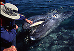 Peter Meyer touching a gray whale calf
