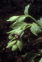 Helleborus foetidus hellebore plant in flower and bud