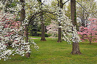 Dogwood Trees in full spring bloom, Louisville, Kentucky, USA
