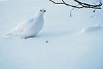 White-tailed ptarmigan, Washington, USA