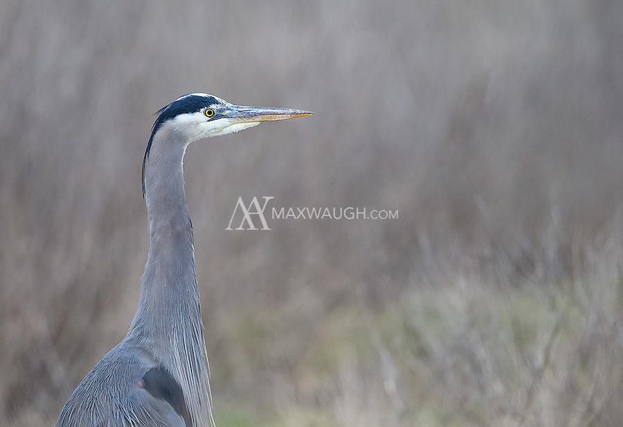 A Great blue heron pauses while hunting for rodents in the grass.