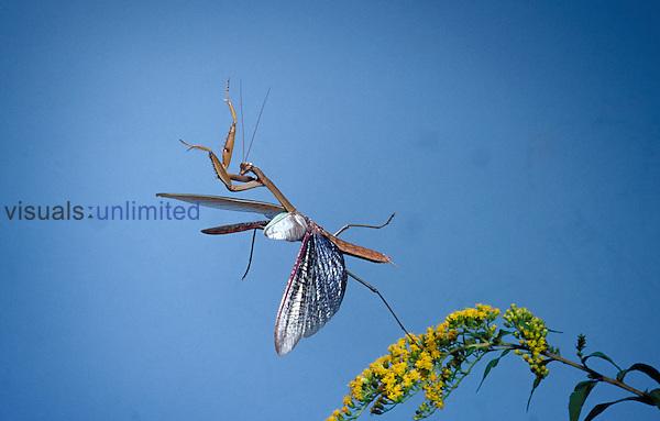 Chinese Mantis flying. ,Tenodera aridifolia,