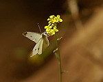 Cabbage White, Pieris rapae, Southern California