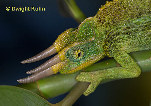 CH35-641z  Male Jackson's Chameleon or Three-horned Chameleon, close-up of face, eyes and three horns, Chamaeleo jacksonii