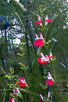 Salvia x jamensis 'Hot Lips' red and white flowers