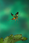 Squash Bug, in Flight, Family Coreidae, Costa Rica, High Speed Photographic Technique, flying, black with yellow stripe, tropical jungle.Costa Rica....