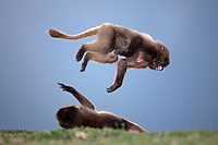 Geladas play fighting (Theropithecus gelada), Simien Mountains National Park, Ethiopia.