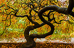 Japanese maple, Washington Park Arboretum, Seattle, Washington, USA
