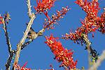 Costa's hummingbird feeding on ocotillo bloom
