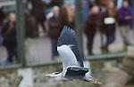 Foto: VidiPhoto<br /> <br /> RHENEN - Reigers scheren dinsdag door de lucht in Ouwehands Dierenpark in Rhenen. De tientallen brutale vogels vormen voor het publiek een attractie op zich, omdat ze tijdens voedertijd de lekkere hapjes bij de andere dieren voor hun neus proberen weg te kapen. Het gebeurt regelmatig dat de reigers net even iets sneller zijn, tot groot vermaak van de bezoekers. Bij de roofdieren gaat het wel eens mis; althans voor de reigers. Soms leggen de logge vogels het loodje omdat hun vraatzucht groter is dan hun reactievermogen.