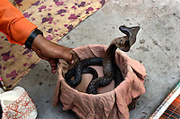 An Indian snake charmer handles a black cobra in a basket in the Indian state of Uttar Pradesh on 4th Dec 2006..56 yr old Sheesha comes from a family of charmers that have been in the business for as long as anyone can remember..He says of charming, 'the future does not look good for charmers, its just not sustainable these days. The situation has become so bad that charmers cannot even afford to send their children to school'..