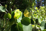 The tuliptree has greenish yellow tulip shaped flowers that are usually found at the top of the tall tree.  The most common place to see the flowers is on the ground after they have dropped from the tree.