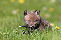 Red Fox (Vulpes vulpes) cub resting on grass, Normandy, France.