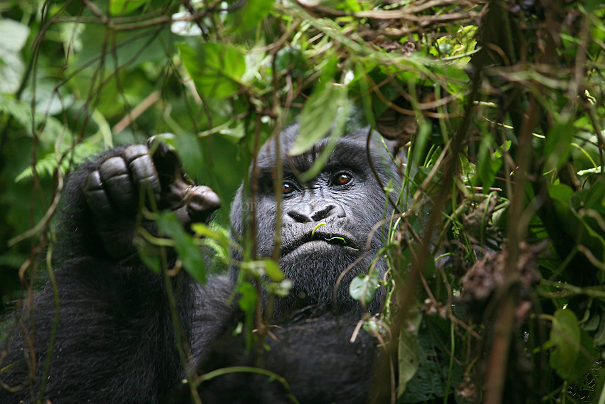 Mountain gorilla feeding on leaves in Rwanda's Virunga Mountains.