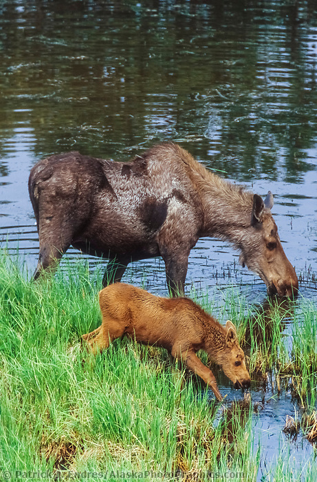 Cow moose and spring calf drink water in a tundra pond near Denali National Park, Alaska
