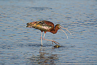 550100004 a wild glossy ibis plegadis falcinellus in breeding plumage feeds along the los angeles river in the sepulveda basin in los angeles county california approximately 1500 miles west of its normal range