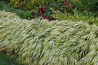 Gold-Striped Hakone Grass