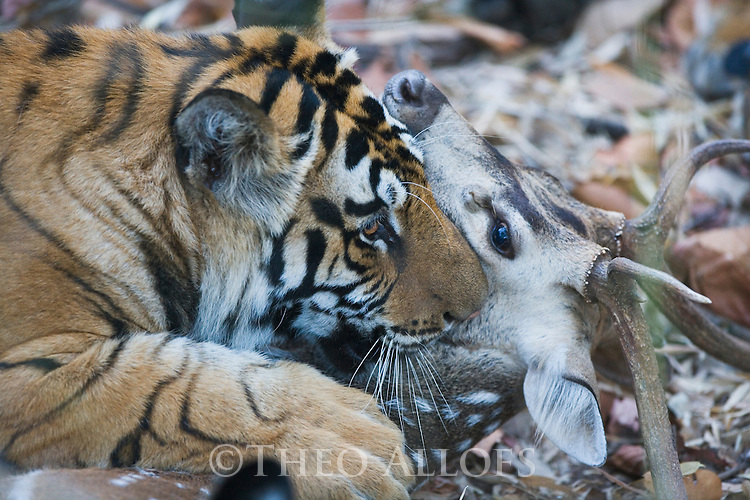 Bengal tigress killing spotted deer kill (Axis axis), early morning, dry season