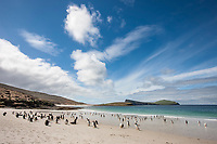 Beautiful beach, on the southern tip of Carcass Island, with gentoo and Magellanic penguins coming and going to sea, New Island, Falkland Islands.