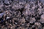 Ducks in flight mass chaos along the shoreline of Greenlake Seattle Washington State USA
