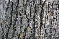 NWA Democrat-Gazette/DAVID GOTTSCHALK  The bark of a more than 150 year old White Oak Tree Monday, October 26, 2015, on south Armstrong Avenue in Fayetteville. Kathryn Scherer, of Fayetteville, is seeking donations towards watering and caring for the tree.