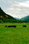 Washington: North Cascades National Park, Angus Cattle along Skagit River, photo: wanort102  .Photo copyright Lee Foster, www.fostertravel.com, 510/549-2202, lee@fostertravel.com